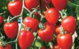 tomatoberry.jpg